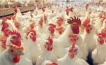 Avicultores brasileños se adecuan a normativa de mayor bioseguridad