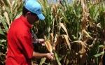 Aumentan los desarrollos en biotecnología agraria en 2017