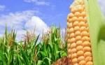 Científicos desvelan el misterio de la replicación de ADN en el maíz