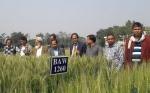 Primera variedad de trigo biofortificada resistente a la pedicularia es lanzada en Bangladesh