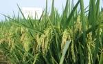 El ambiente causa más cambios inesperados en las plantas que la modificación genética