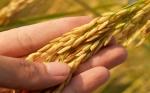 Oxford crea arroz genéticamente modificado para reducir el hambre