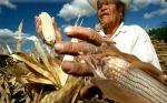 En México el maíz genéticamente modificado aumentaría productividad hasta un 22%