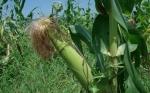 Maíz biotecnológico de Monsanto aprobado para cultivo en Pakistán