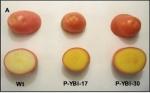 """Papa transgénica """"dorada"""" biofortificada en vitaminas A y E podría reducir la desnutrición"""