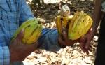 Cacao de Bolivia suma su triple corona mundial