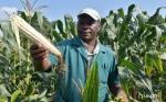 Impacto de la adopción de variedades de maíz tolerantes a la sequía sobre la producción total de maíz en el sudeste de Zimbabwe