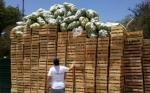 Destruyen 12.500 kilos de limones en Salta para prevenir el HLB