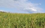 Los golpes de calor reducen hasta 48% el tamaño del grano de maíz