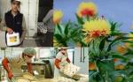 Un logro argentino: aprobaron la comercialización de cártamo modificado que expresa quimosina bovina en su semilla
