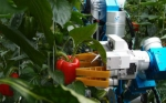 Desarrollan un robot para cosechar pimientos en invernadero