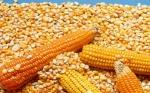 La Comisión Europea autoriza cinco OMGs para importación y renueva la autorización del maíz 1507