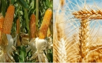 La FAO estima que la producción mundial de cereales marcará un nuevo récord