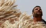 Egipto desarrolla trigo transgénico de alto rendimiento en zonas desérticas