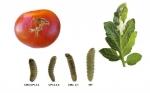 Logran tomates más resistentes a las plagas