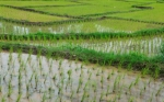 Se completa el genoma de siete variedades de arroz silvestre