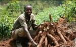 Nigeria realiza ensayo de campo con yuca transgénica que reduciría pérdidas alimentarias