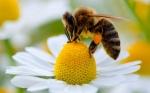 Un sistema de análisis detecta pesticidas en polen y néctar recolectados por abejas