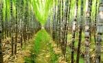 Los ingenios azucareros de Brasil inician una plantación de caña genéticamente modificada
