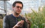 Investigadores utilizan CRISPR en el trigo