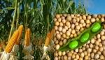 Argentina: Aprobaron la comercialización de dos nuevas semillas de maíz y una de soja