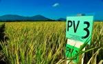 Green Super Rice, la nueva raza de variedades de arroz capaz de resistir a condiciones climatológicas extremas