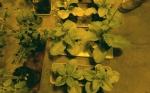Plantas eficientes: Mayor biomasa y tamaño en menos tiempo
