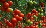 Científicos mexicanos desarrollan tomate genéticamente modificado que disminuye la hipertensión