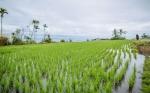 Un gen del maíz es capaz de mejorar el rendimiento del arroz y hacerle resistente a la sequía