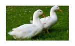 Vacuna única desarrollada para Influenza Aviar y Enteritis del pato
