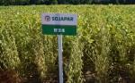 Nueva soya permite ahorrar en fungicidas