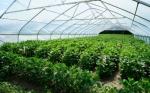 Científico de Tennessee trabaja para aumentar el potencial de ahorro de agua de los cultivos