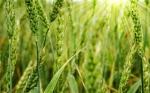 ¿Una vacuna para plantas comestibles?Un nuevo método de protección de plantas en el horizonte