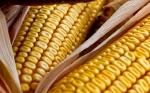 El aumento del maíz Bt no debe hacer olvidar el uso de las buenas prácticas