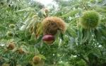 10 mil árboles transgénicos resistentes a un hongo listos para salvar de la extinción al castaño americano