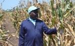 El maíz WEMA muestra una resistencia prometedora al destructor gusano cogollero