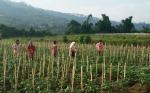 Los investigadores recurren a los OGM para resolver la inseguridad alimentaria