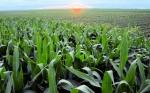 Empresas anuncian un nuevo rasgo que aumenta el rendimiento del maíz