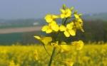 Aumentan el ácido oleico de la colza a través del CRISPR-Cas9