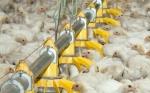 Sector avícola boliviano califica de inviables medidas gubernamentales