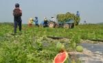 Investigadores chinos desarrollan una sandía tolerante a herbicida