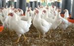Brasil: Consolidación de daños en la avicultura por huelga camionera