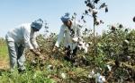 Etiopía aprueba la liberación ambiental del algodón Bt y otorga permiso especial para el maíz resistente a la sequía y ataque de insectos
