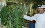 Científicos logran cultivar arroz en el desierto de Dubai
