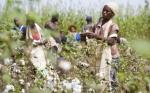 Kenia comienza pruebas nacionales de rendimiento en algodón OGM