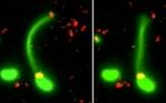 Por primera vez, los científicos han capturado bacterias «pescando» nuevo ADN de organismos cercanos