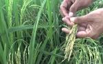 Cambio climático hará que el arroz sea menos nutritivo dejando a miles de millones de pobres en riesgo