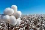 Evaluación del impacto del algodón genéticamente modificado después de 20 años de cultivo en México