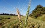 Investigadores movilizados para contener avance del brusone del trigo en el mundo