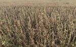 En Uruguay estiman que perdieron 546 millones de dólares por la última sequía
